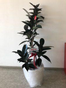 お取引銀行様からも70周年のお祝いに観葉植物をいただきました。会社と共に成長するよう大切に育てたいと思います。ありがとうございました。